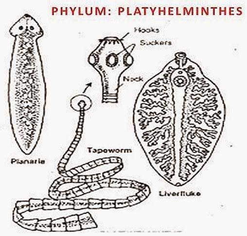 exemple de platyhelminthes turbellaria unguent pentru papiloame în nas