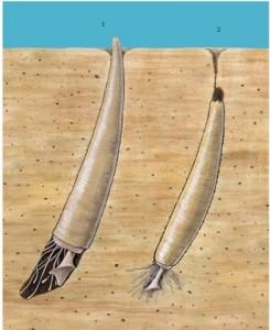 A Scaphopoda, Tusk shell http://lh5.ggpht.com/_1wtadqGaaPs/TAkFvjLt5bI/AAAAAAAAEig/ATkb70-NNzE/tmp2A25_thumb_thumb.jpg?imgmax=800