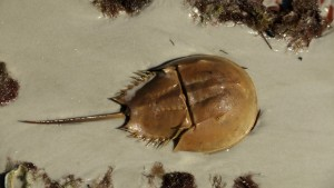 Horseshoe crab dug into the sand