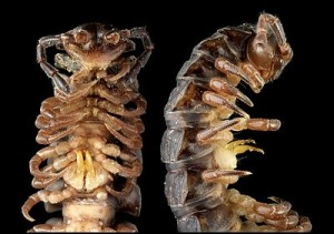 Close up view of modified walking legs gonopods