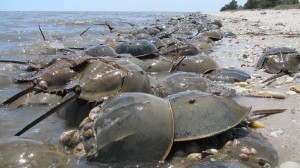 Horseshoe crab migration
